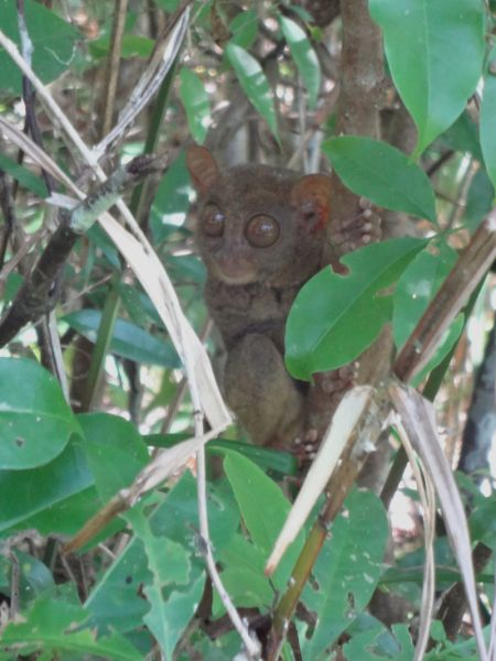 Moment of reckoning- the Philippine Tarsier