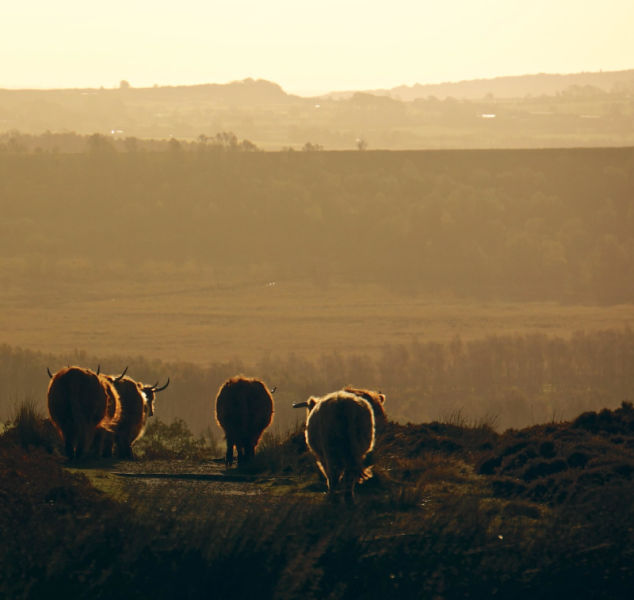 Moooving On - Cattle on Curbar Edge Glowing in Early Morning Sun