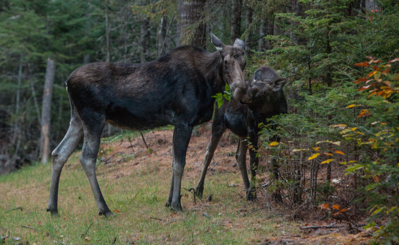Moose spotting in the White Mountains of New Hampshire