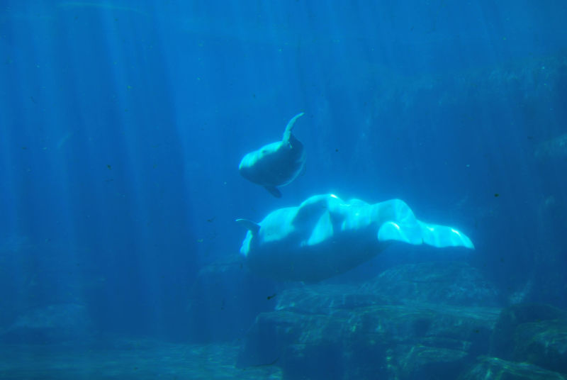 Mother and Baby Beluga Whale