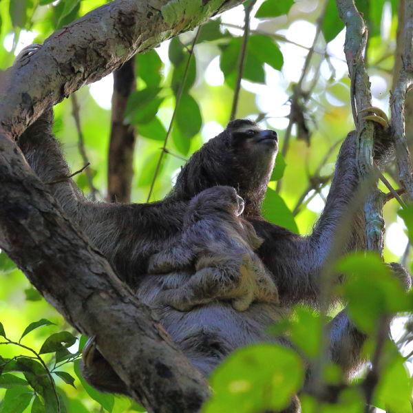 Mother and baby Three-toed Sloth