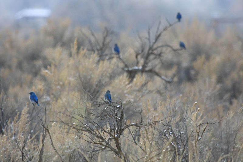 Mountain Bluebirds