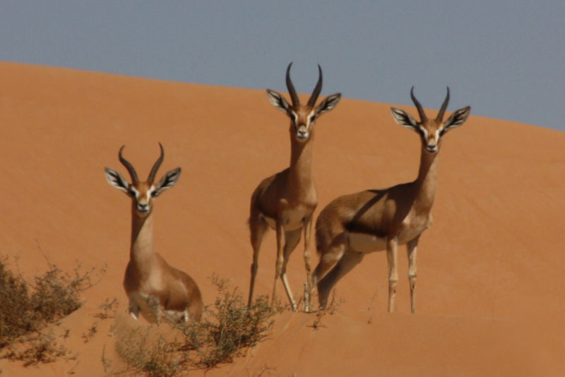Mountain gazelles (gazella gazella)