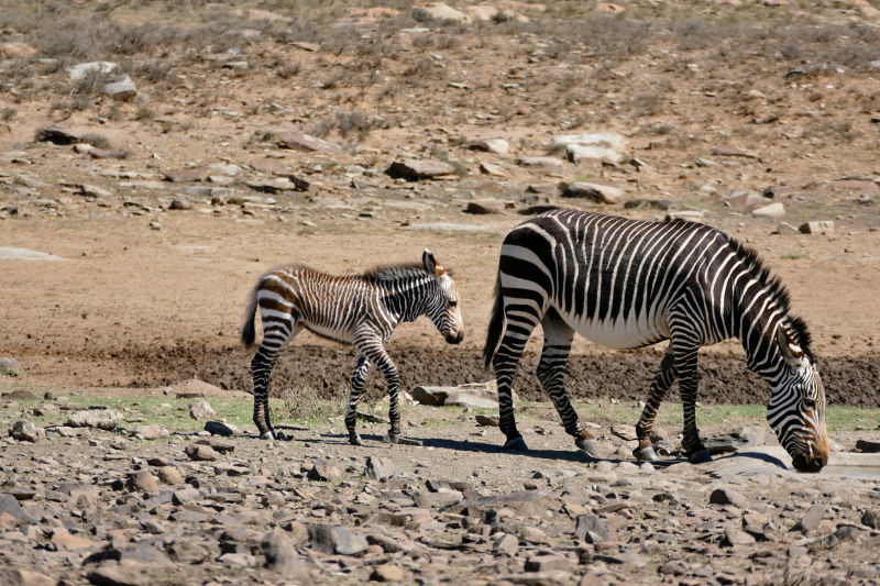 Mountain Zebras (Equus zebra zebra) mare and foal ...