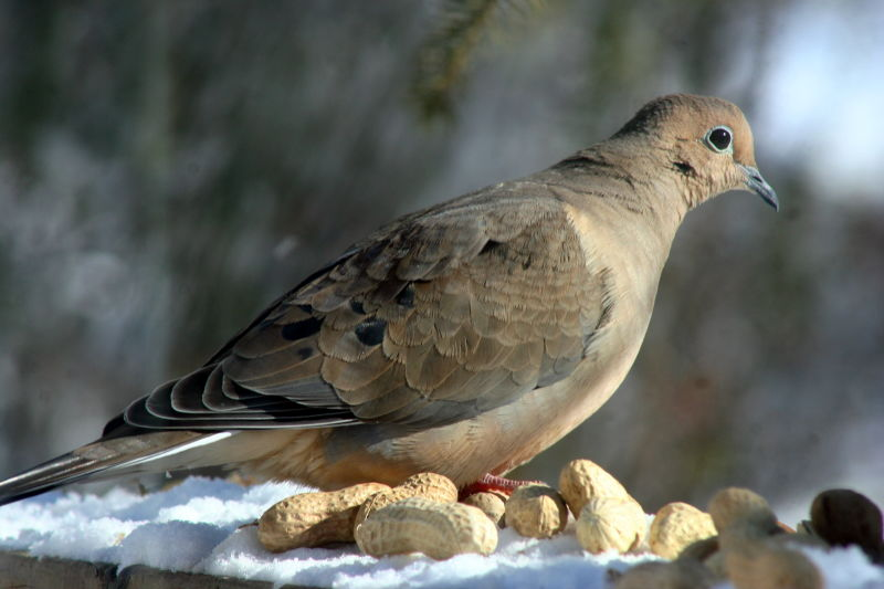 Mourning Dove_4219