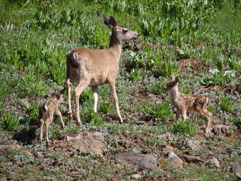 Mule Deer Doe with Pair of Fawns