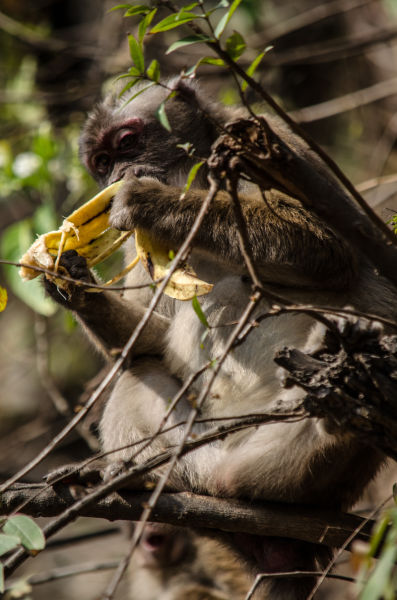 Nepal - Rhesus Macaque monkey snacking on a banana