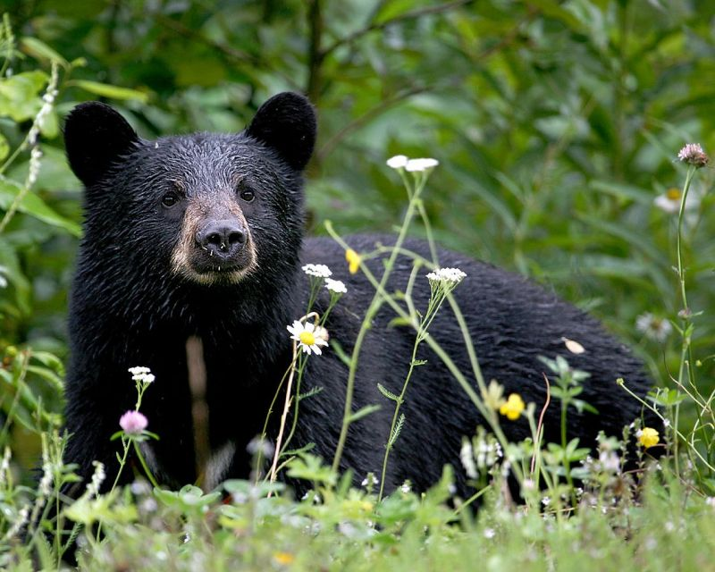 American Black Bear photo
