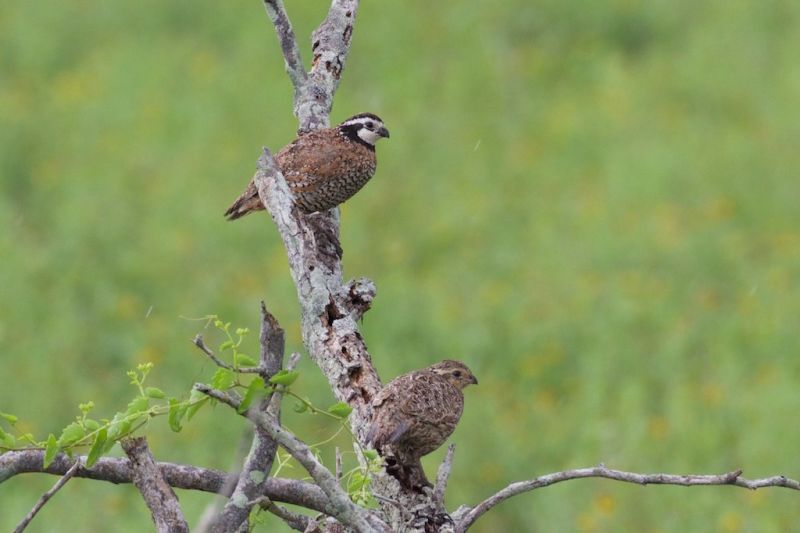 Northern Bobwhite|Laguna Atascosa NWR|TX | 2015-05-15at10-07-119