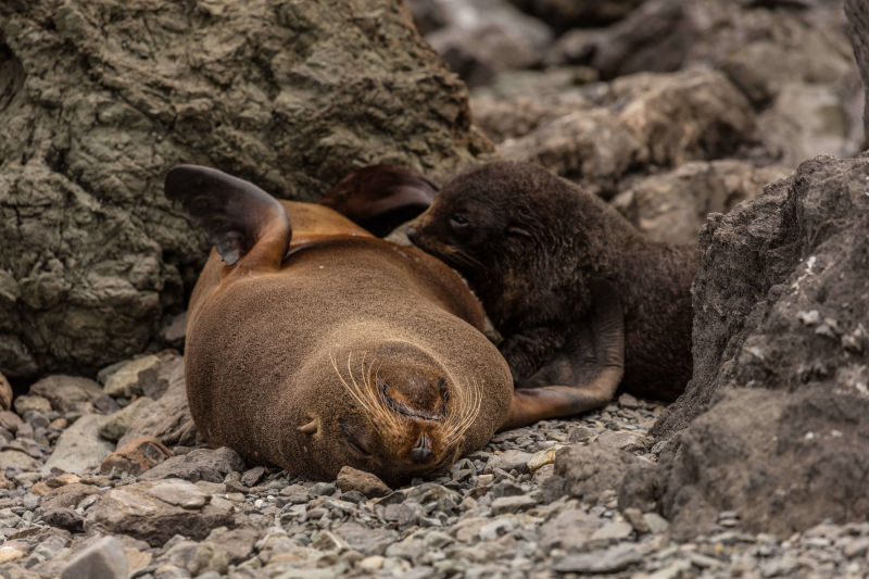 NZ Fur Seals, Cape Palliser Seal Colony