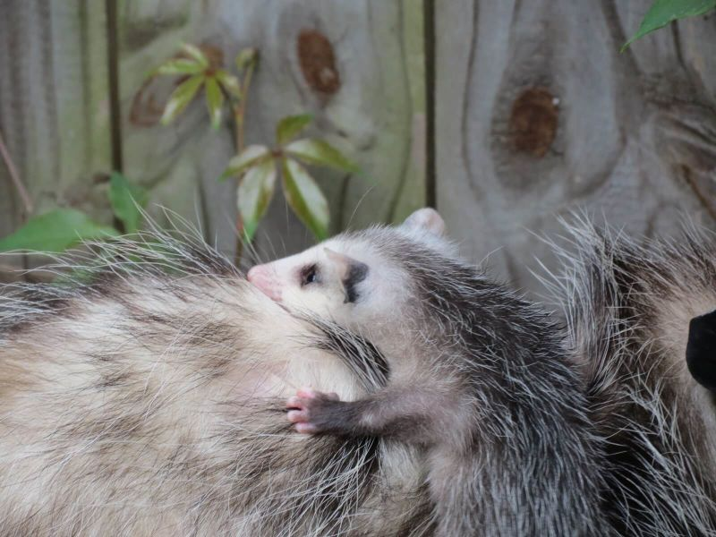 Opossum with baby in my backyard