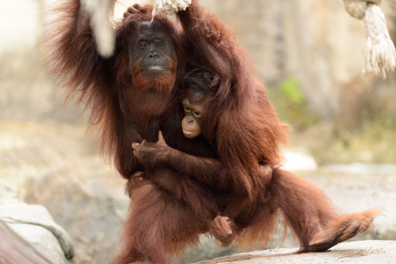 Orangutan Mother Carrying Daughter