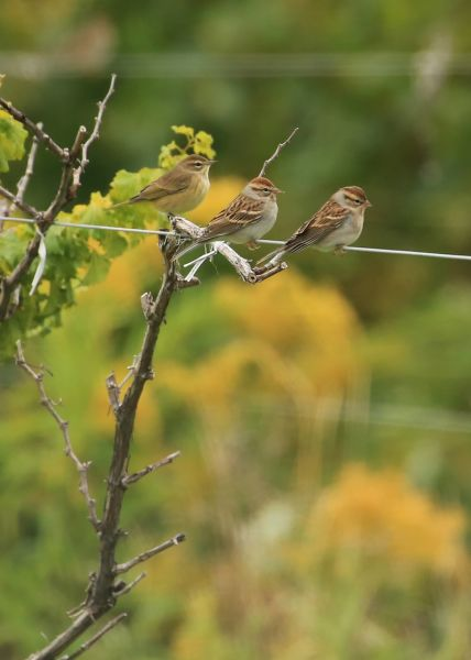 Palm Warbler with Chipping Sparrows