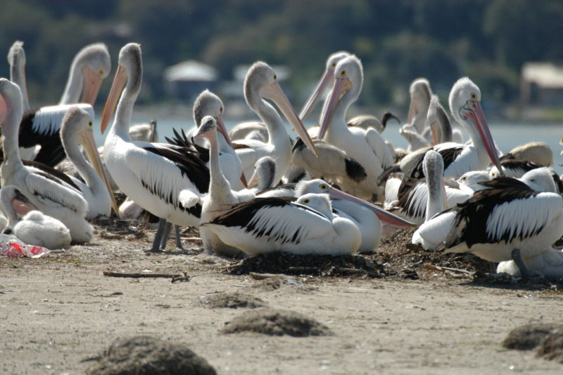 Pelicans at Orange Grove