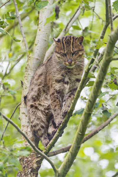 Perched female fishing cat