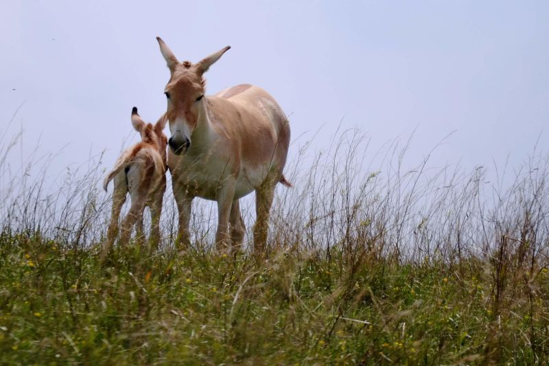 Persian Onager and Foal