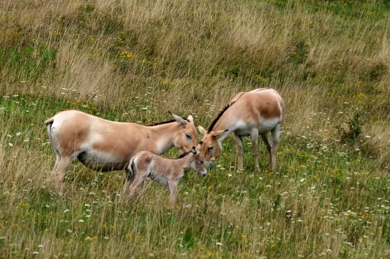 Persian Onager Family