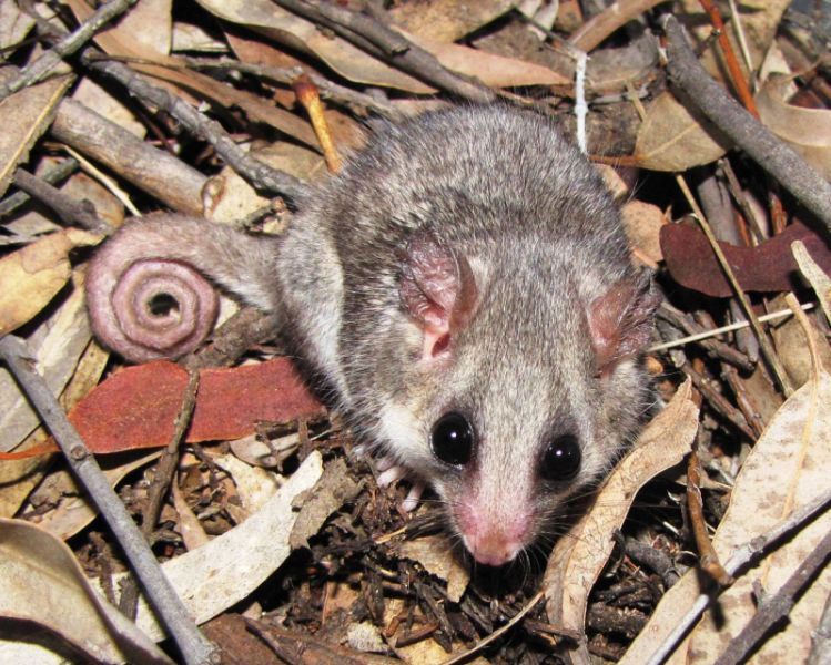 Pilliga Forest: Threatened Eastern Pygmy Possum
