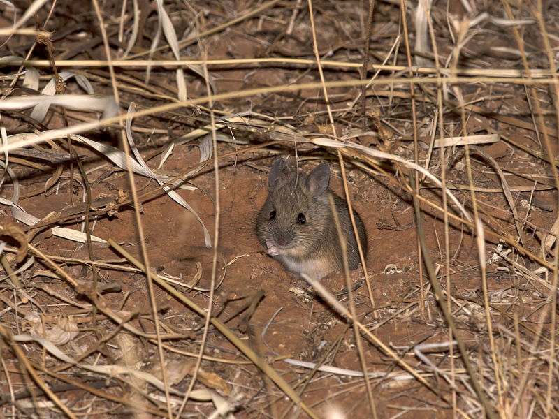 Plains Mouse - Pseudomys australis - Mount Dare, SA