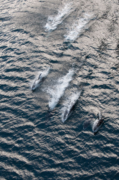 Pod of Pacific White-Sided Dolphins