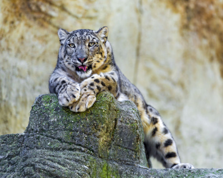 Posing snow leopard mother