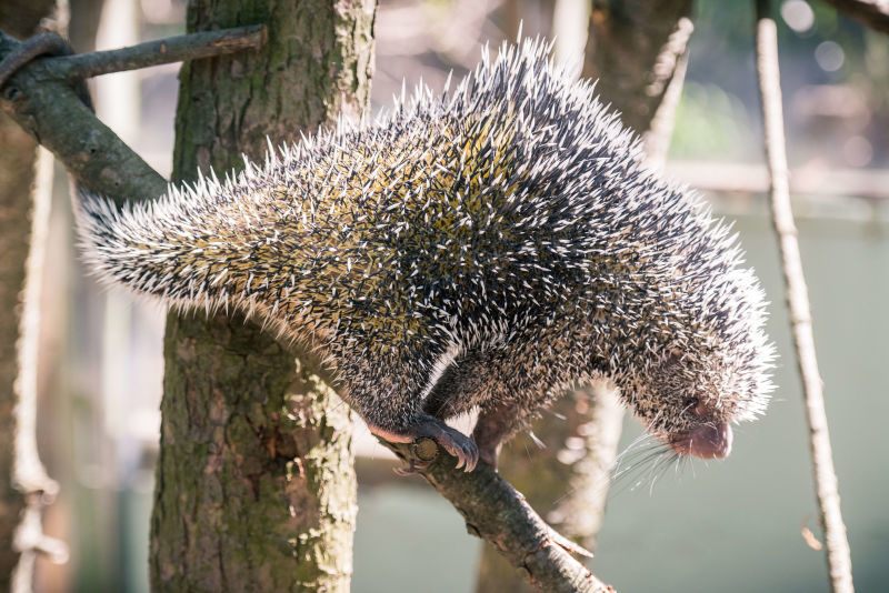 Prehensile Tail Porcupine Climbing Down Quills Out