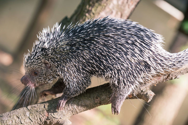 Prehensile Tail Porcupine Scurrying Down a Branch