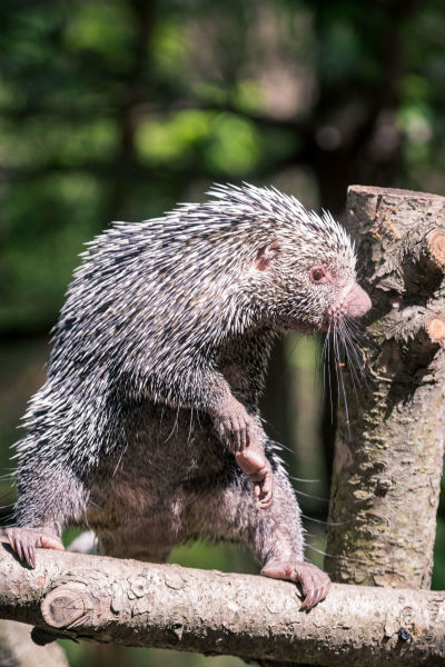 Prehensile Tail Porcupine Standing Aggressively