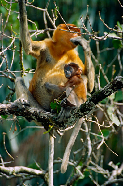 Proboscis Monkeys (Nasalis larvatus) female with young