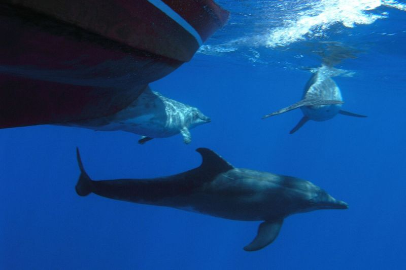 Rough-Toothed Dolphin photo