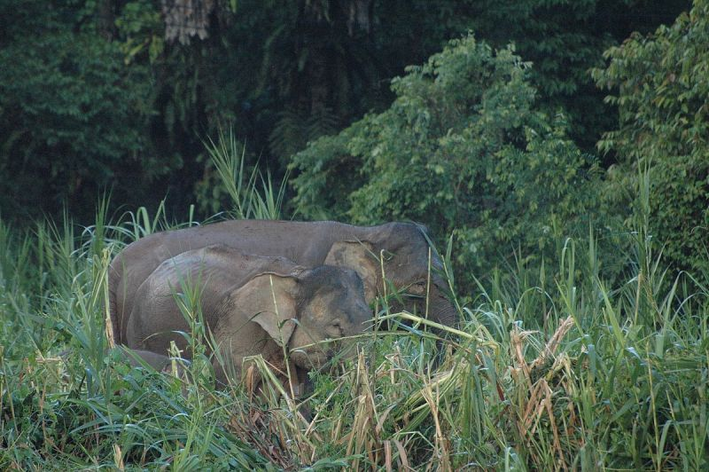 Borneo Elephant photo