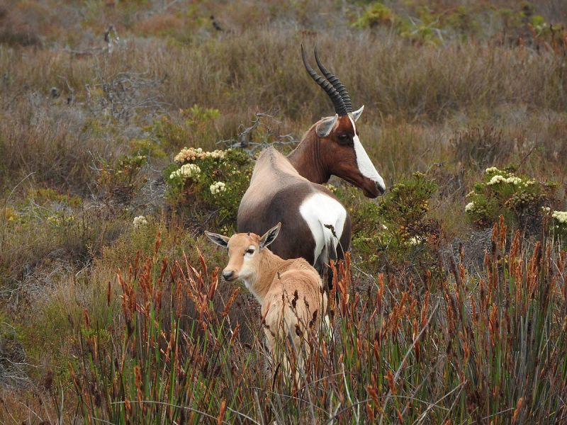 Bontebok photo