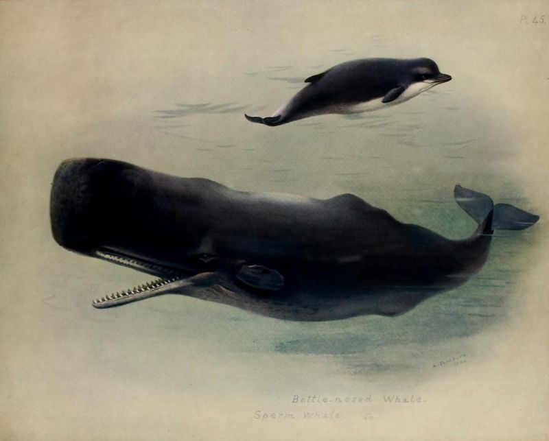 sperm whale and northern bottlenose whale