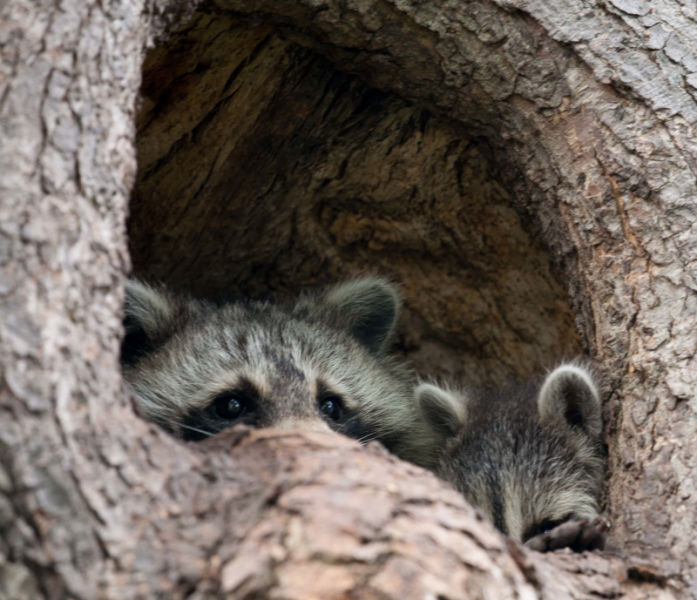 Raccoon kit and mom