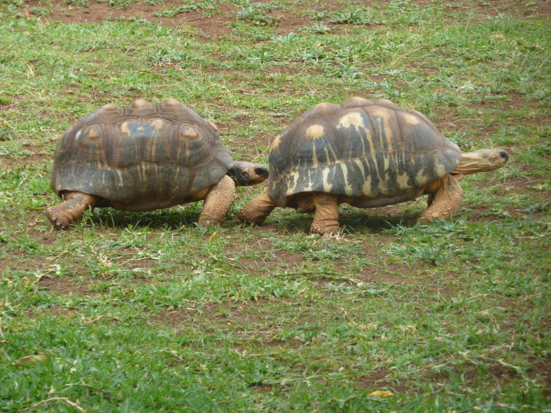 Radiated tortoises