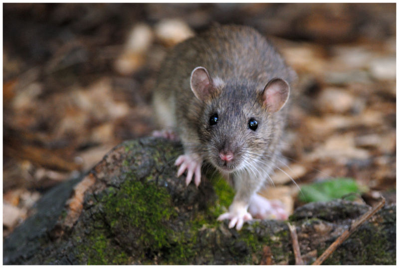 Rat surmulot / Brown Rat