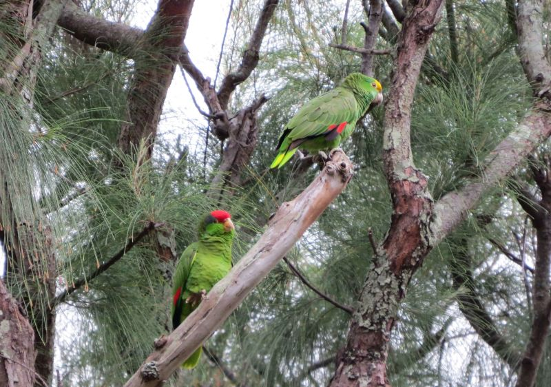 Red-crowned and Yellow-crowned Parrots