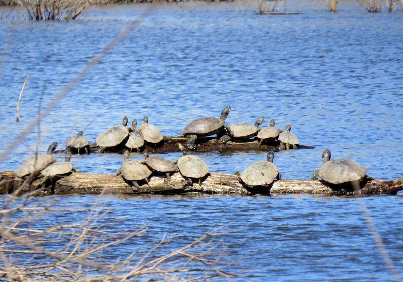 Red-eared sliders and painted turtles