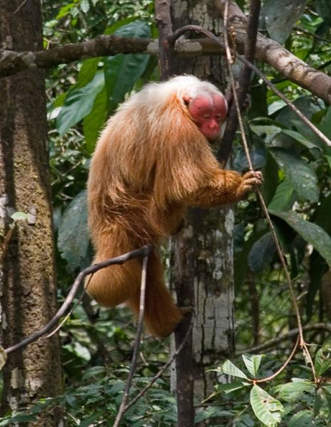 Red-faced monkey (Uakari)