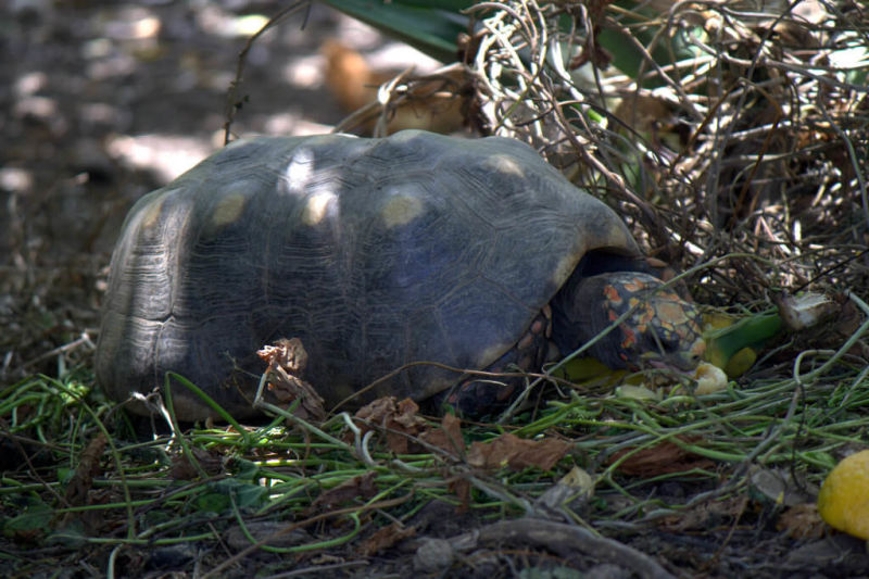 Red-Footed Tortoise (Chelonoidis carbonaria)