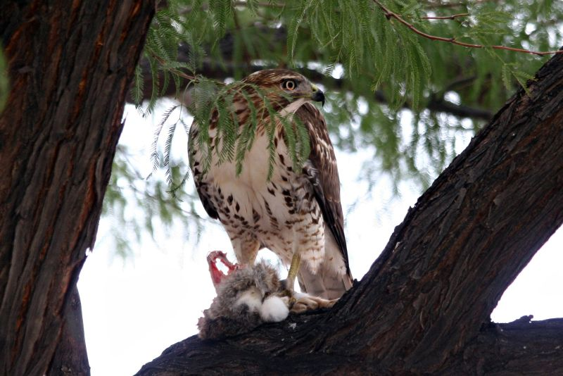 Red tailed Hawk 44