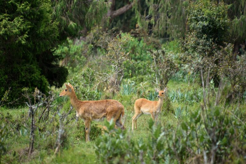 Reedbuck, Bale Mountains National Park (7)