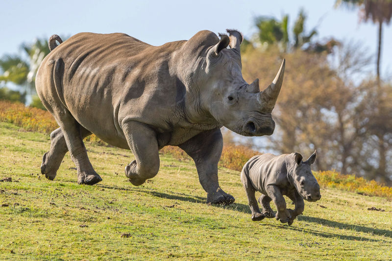 Rhino mother and calf frolicking in San Diego Zoo
