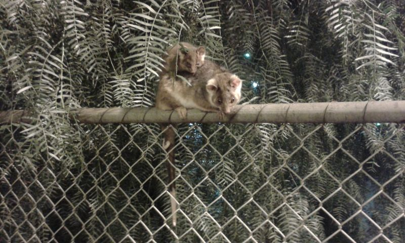 Ringtail possum and baby
