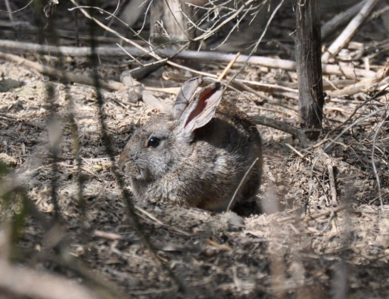 riparian brush rabbit
