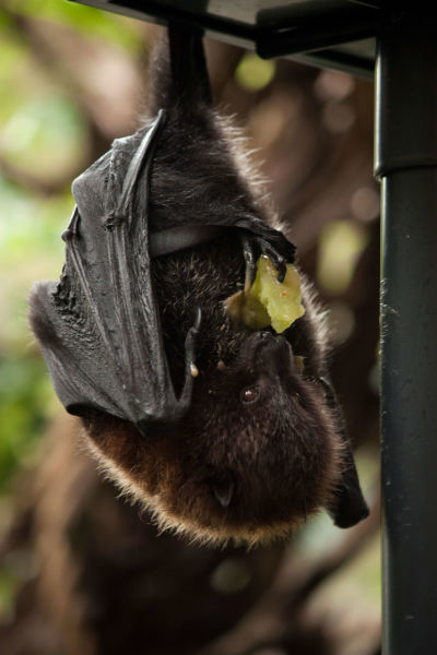Rodrigues flying fox (fruit bat) - Artis Royal Zoo
