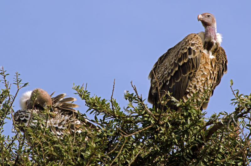 Rüppell's Vultures