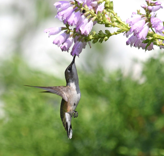 Ruby-throated hummingbird feeding from an obedient plant