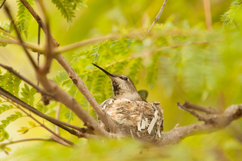 ruby-throated hummingbird in nest