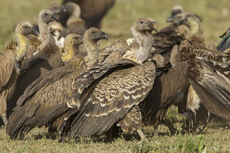 Ruppell's Vulture ( and White-backed ) - Ndutu - Tanzania_0286